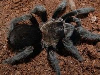 Aphonopelma caniceps