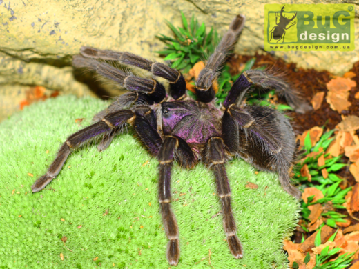 Phormictopus cancerides sp. Purple